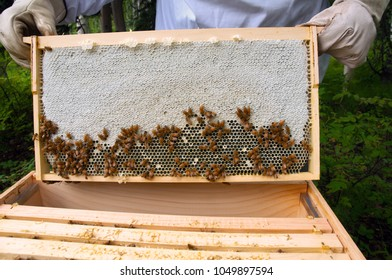 Comb of honey pulled from bee hive