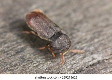Comb-antenned wood borer, anobiidae on wood, extreme close-up