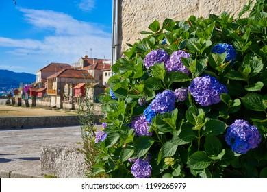 Combarro hydrangeas flowers Galician village in Pontevedra Galicia Spain