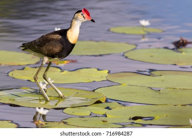Comb-crested jacana (Irediparra gallinacea) walking on floating vegetation in a lake. Cairns, Queensland, Australia.