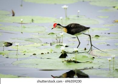 Comb-crested Jacana walking across water lilies on an Australian wetland