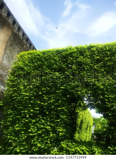 A combination colors of green leaves, an old wall and beautiful blue sky with a flying bird. Two color of green and blue gives us refreshed, energetic and positive thought and mind.