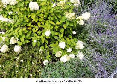 The combination of perennial flowering plants. Hydrangea paniculata. Perovskia atriplicifolia. Nepeta faassenii. Dasiphora fruticosa. Ideas for the garden. Modern flower beds. Landscaping.