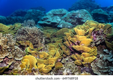 Combinations of large healthy coral species covered the reef in Kosrae.
