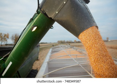 Combine harvester discharging maize kernels into the load bed of a waiting truck in an agricultural field