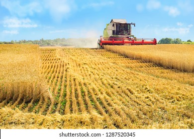 Combine harvester harvests ripe wheat