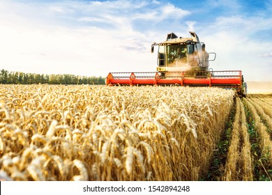 Combine harvester harvests ripe wheat. Ripe ears of gold field on the sunset cloudy orange sky background. . Concept of a rich harvest. Agriculture image. - Shutterstock ID 1542894248