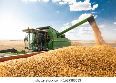 Combine harvester pours corn maize seeds.