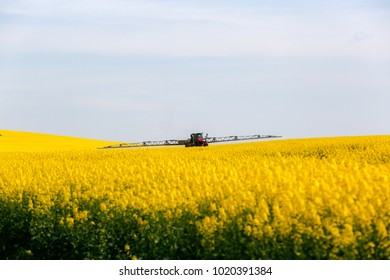 a combine harvester straight cuts a standing canola field during the harvest