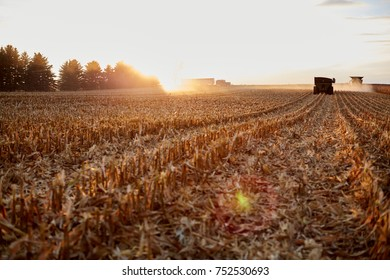 Combine harvester working at sunset in a field of maize in a low angle view down the backlit rows of cut stubble in glowing light with flare