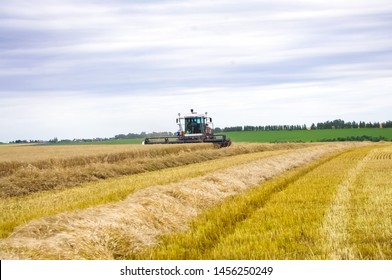 combine harvests wheat and grain
