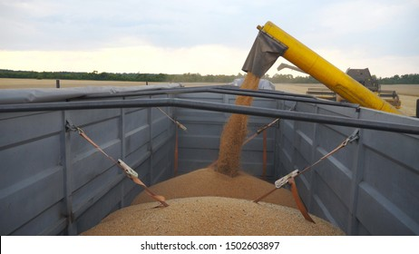 Combine loading wheat grains in truck at evening. Side view on loading process of fresh rye into trailer. Yellow dry kernels falling from harvester auger. Concept of harvesting. Slow mo Close up