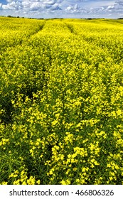 combine tracks in flowering canola field leading to horizon