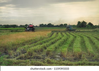 Combined harvester - reaping, threshing, and winnowing - working in the field, harvesting the rice when crop finish with the cloudy sunset sky in the background.