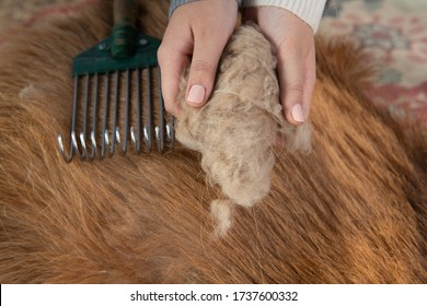 Combing cashmere from a goat