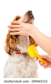 Combing dog breed Russian Spaniel isolated on white background