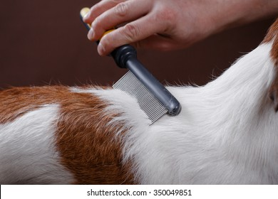 combing her dog Jack Russell Terrier, care for dog hair