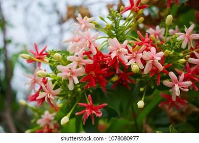 Combretum indicum Flowers