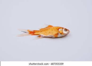 comet goldfish of dead on white background with soft focus