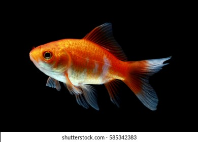 Comet Goldfish on aquarium with black background