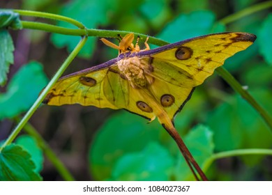 The comet moth (Argema mittrei) or Madagascan moon moth is an African moth, native to the rain forests of Madagascar. Endangered in the wild due to habitat loss. Ranomafana National Park, Madagascar