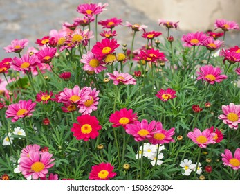 Comet Pink Marguerite Daisy close up. Argyranthemum frutescens is an evergreen subshrub, produces numerous light or dark pink, yellow-centered flowers on tall stems against a backdrop of green leaves.