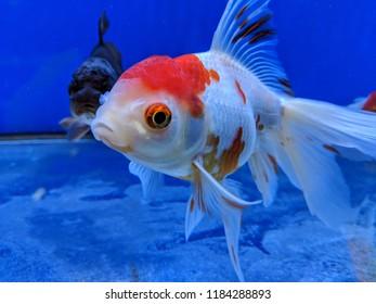 Comet Sarasa Fantail Goldfish in an aquarium