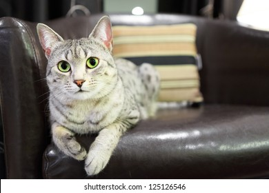 A comfortable Egyptian Mau cat relaxes on a leather chair.  Shallow depth of field is focused on the eyes