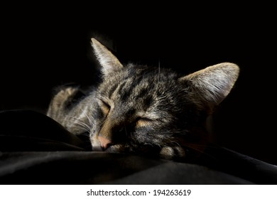Comfortable large striped tiger cat asleep on blanket on black background