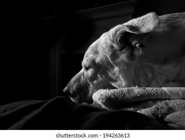 Comfortable large white dog asleep on blanket with backlight on black background