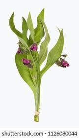 Comfrey, Symphytum flower