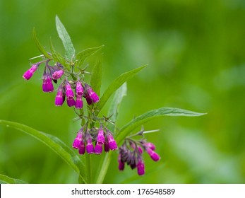 Comfrey (Symphytum officinale), flowers of a plant used in organic medicine
