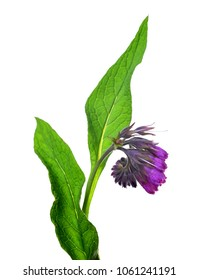Comfrey (Symphytum officinale) isolated on white background, plant used in medicine.
