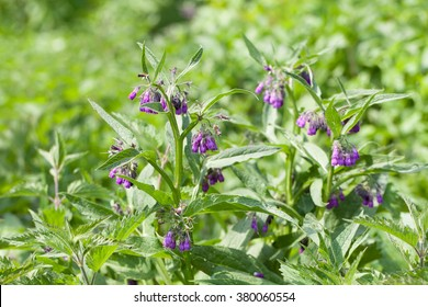 Comfrey (Symphytum officinale L.) outdoors