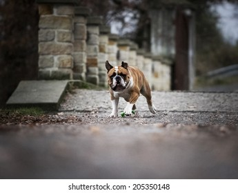 Bulldog King Stock Photos, Images & Photography | Shutterstock