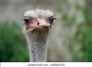 comic ostrich head
