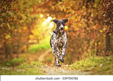 comic, young, fun European sled dog running and flying in autumn nature with sunset