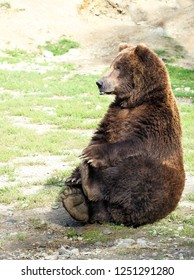 Comical Adult Male Grizzly Bear Sitting While Holding His Hind Feet