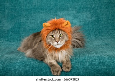 Comical and funny cat wearing red brown furry lion wig lying down on green background