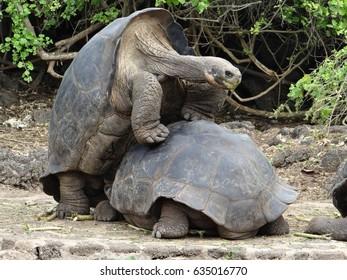 Comical Galapagos Turtles
