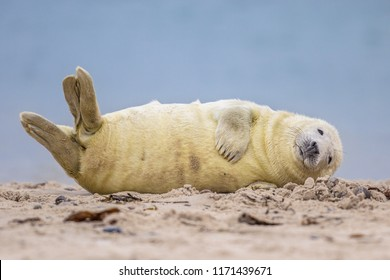 Comical Grey seal (Halichoerus grypus) pup on beach of Helgoland looking in camera