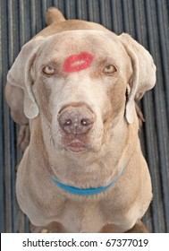 Comical image of a Weimaraner dog with a lipstick kiss in the middle of his forehead