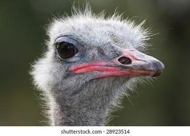 Comical look of an ostrich flightless bird from Africa