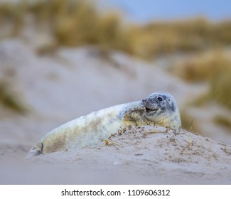 Comical playful common seal (Phoca vitulina) pup lying on side on beach of Helgoland with dunes in background
