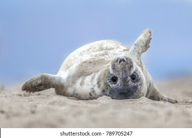 Comical playful common seal (Phoca vitulina) pup lying on back on beach of Helgoland looking at camera