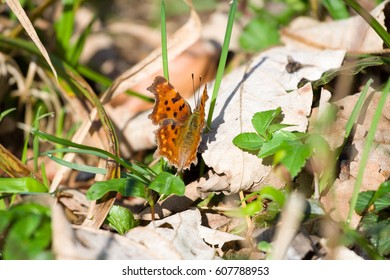 Comma butterfly asking a fly the way to the next flower