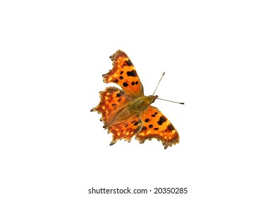 Comma butterfly  - isolated object