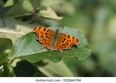 Comma butterfly latin name Polygonia c-album wings open on a green leaf in Hampshire UK with out of focus green background copy space