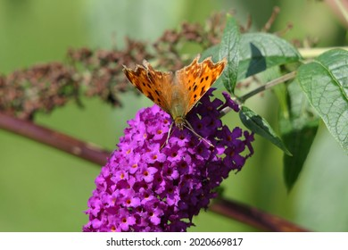 Comma butterfly latin name Polygonia c-album wings open on a buddleja butterfly bush in Hampshire UK