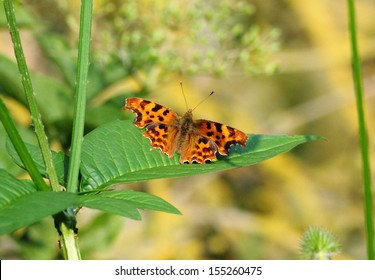 Comma Butterfly on green leaf